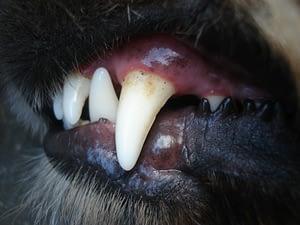 brush dog teeth cat clean