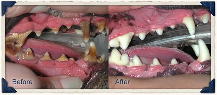 dog dental treatment